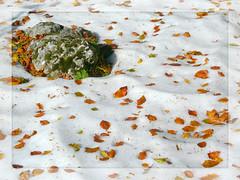 Pian delle Macinare (Web Orange) Tags: horses horse nature foglie natura neve autunno cavalli cavallo umbria cens faggio faggi agrifoglio sigillo costacciaro piandellemacinare