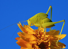 Macro grasshopper (Katydid?) (Tanya Puntti (SLR Photography Guide)) Tags: blue sky flower macro nature floral animal yellow closeup canon garden insect bugs yellowflower grasshopper mackay katydid canon100mmmacro macroinsect naturesfinest macrobugs mywinners canon400d worldbest anawesomeshot diamondclassphotographer flickrdiamond macromarvels theperfectphotographer top20flowerswithbugs