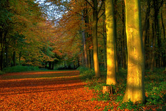 Avenue of trees (Nikonsnapper) Tags: morning autumn trees sunlight fall colors beautiful leaves sunshine golden early woods nikon colours soe oxfordshire dapa 10faves d80 bradburyclump damniwishidtakenthat