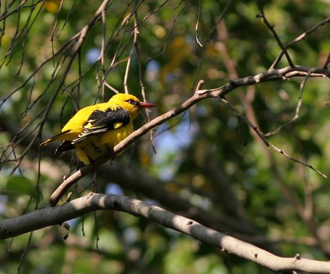 golden oriole side 011207