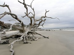 Driftwood Beach Jekyll Island Ga (Robert Lz) Tags: beach club georgia golden rich save jekyllisland saintsimonsisland elzey driftwoodbeach oilhouse robertlz robertonflickr seaturtler lighthouseusscondriftwood