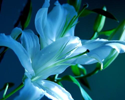 lilies 009