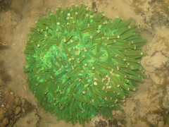 Mushroom Coral (Heliofungia sp.?)