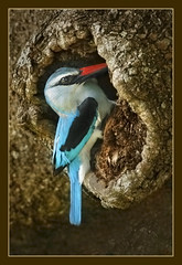 Woodland Kingfisher (hvhe1) Tags: africa bird nature animal southafrica bravo wildlife kingfisher interestingness2 naturesfinest malamala firstquality woodlandkingfisher specanimal hvhe1 hennievanheerden avianexcellence bratanesque rattrays
