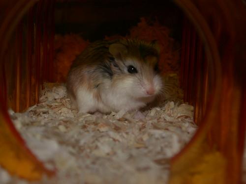 Roborovski Hamster chav by roborovski hamsters.
