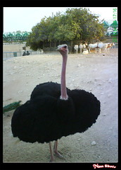 Ostrich 2 (Muneera Al Qubaisi) Tags: animals zoo photo ostrich photograph qatar