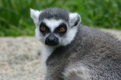 Lemur Lover (Cal Bear 94) Tags: zoo oakland lemur blueribbonwinner anawesomeshot impressedbeauty diamondclassphotographer flickrdiamond brillianteyejewel goldstaraward