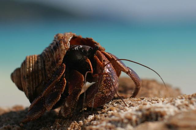 Hermit Crab (Coenobita brevimanus)