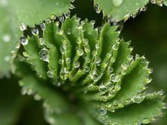 Alchemilla (gripspix) Tags: macro dewdrops ladysmantle alchemillasp