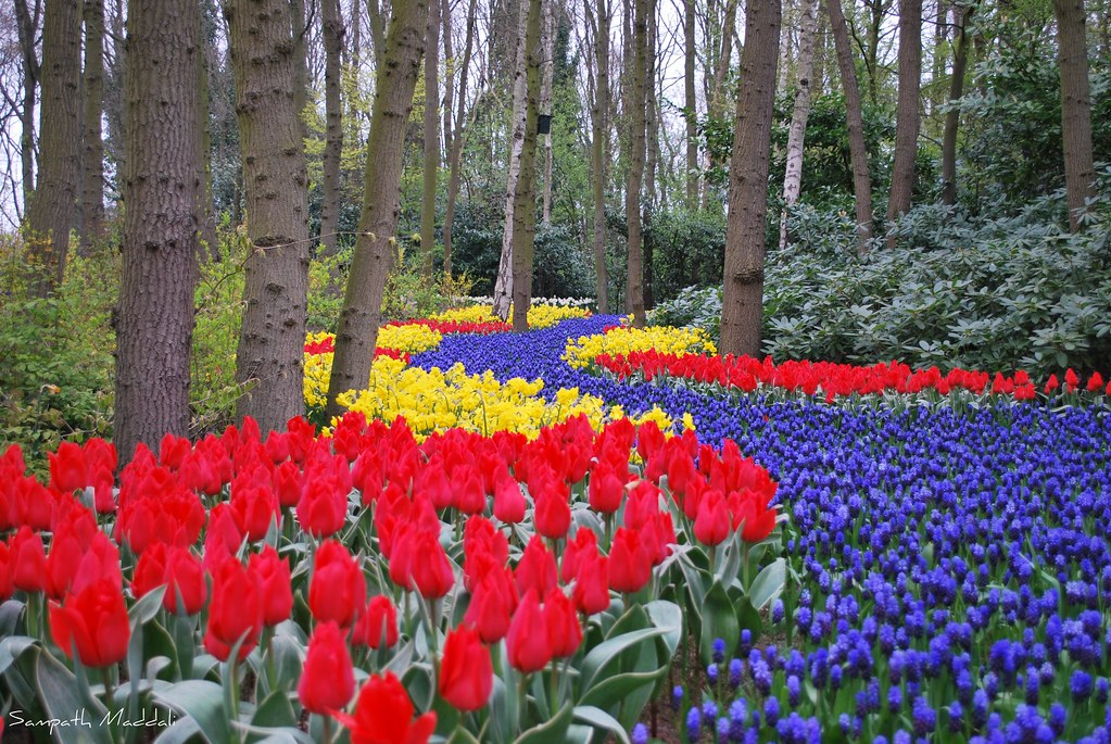 tulip flower path, keukenhof, netherlands