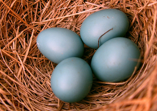 Robin Eggs are really Blue.