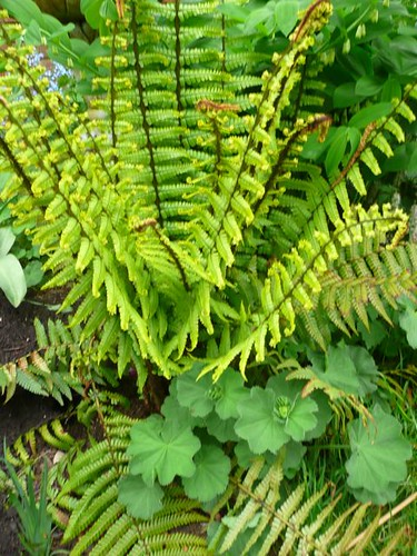 Fern and alchemilla mollis
