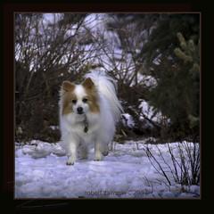 chi doggie (zawaski) Tags: walk snow pet dog canmore alberta beauty canon finephotography 4hire photography natural zawaski©2017 canada love calgary ambientlight ab fun photo canonefs55250mmf456isstm