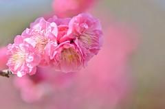 sweet pink (snowshoe hare*) Tags: plumblossoms japaneseapricot flowers botanicalgarden ume 梅 海の中道海浜公園 dsc0733