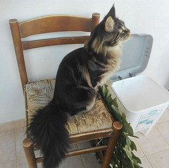 Kitty Maine coon on the chair (romeosilverpersian) Tags: mainecoon cat cats gatto gatti pets animalidomestici kitten tabby chair