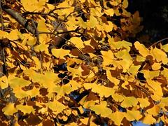 Golden Leaves - Ginko Biloba, Explored, best # 07 on Feb. 14, 2017 (presbi) Tags: fall autumn herbst autunno foglie leaves verona ginko