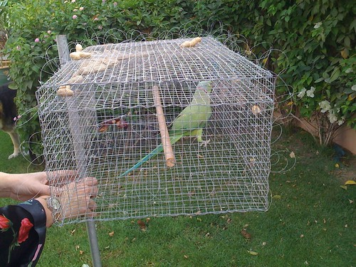 Decoy parakeet trapping cage with rose-ringed parakeet trapped inside