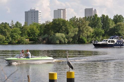 Graureiher am Tiefen See (Havel)