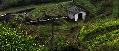 / jiangling, wuyuan, jiangxi (to ang, with love) Tags: rapeseed  jiangling  conola wuyuanjiangxichinathemostbeautifulcountrysideinchina