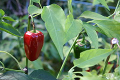 red jalepeno