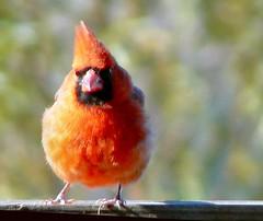 Cold Card (Lollie Dot Com) Tags: red bird cardinal card malecardinal lolliedotcompix fluffedredcardinal p1340566nncc