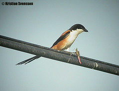 Long-tailed Shrike (Lanius schach) (macronyx) Tags: bird nature birds thailand wildlife birding aves digiscoping birdwatching shrike lanius laniusschach longtailedshrike