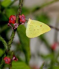 Orange-Barred Sulphur-Phoebis Philias_demo (Prints of the Realm) Tags: wildlife butterflies floraandfauna florafauna