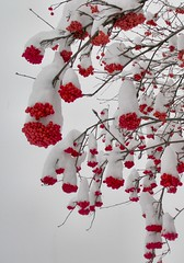 Heavy Snow Bends Berried Branches (Pictoscribe) Tags: lighting christmas december day village loop wa cascade leavenworth bavarian pictoscribe