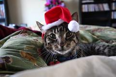Santa cat (daradactyl) Tags: hobbes goldstar paxton santacat 12807 explore73 mycatloveshats lofdecb07