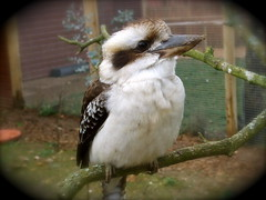 Kookaburra (Mockney Rebel) Tags: bird animal zoo fuji marwell marwellzoo kokaburra s9600