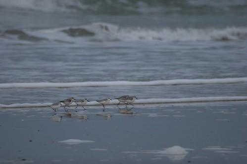 Des Bécasseaux sanderling sur la plage de Saint Cosme de Fresnay