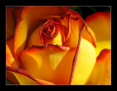 Not alone (Gary*) Tags: sun sunlight 3 flower macro nature rose petals bravo imu ilu tequilasunrise magicdonkey lovephotography 40d theunforgettablepictures