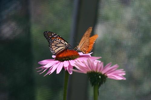 Butterflies feeding at the Butterfly garden