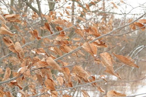 beech_leaves
