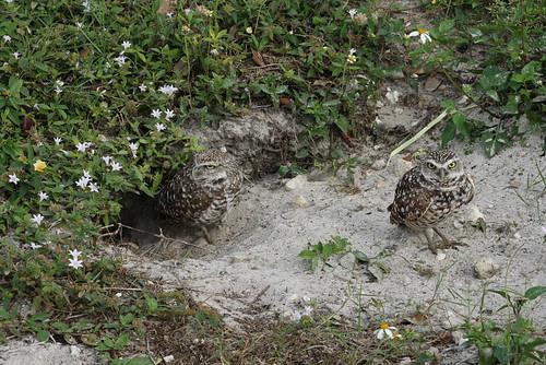 burrowing owls 1-26-08 088