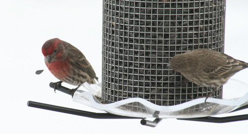 house finch with seed 2