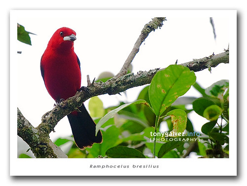 tiê-sangue / Brazilian tanager