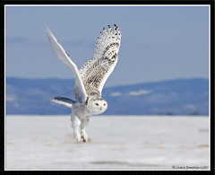 Harfang des neiges / Snow owl - Photo from 2007 (RichardDumoulin) Tags: snow canada nature snowy des qubec richard owl neiges harfang dumoulin vosplusbellesphotos