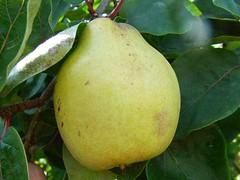 Quince Lescovacz (Fruitscape) Tags: uk quince runcorn cydoniaoblonga nortonpriorymuseumgarden lescovacz