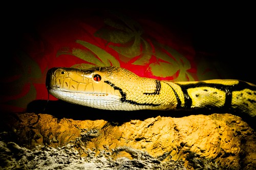 a snake: black, gold, red