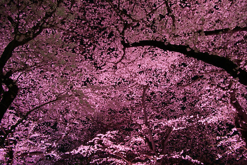 Hanami - Cherry Blossoms 2371701634_4e393d7d6c