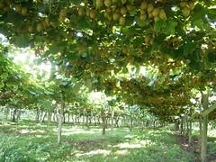 Kiwifruit vines (rengber) Tags: newzealand kiwifruit hawkesbay