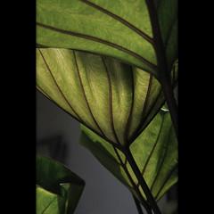 Feelings (Yorick...) Tags: plant black green texture leaves garden dark grey lotus you dam