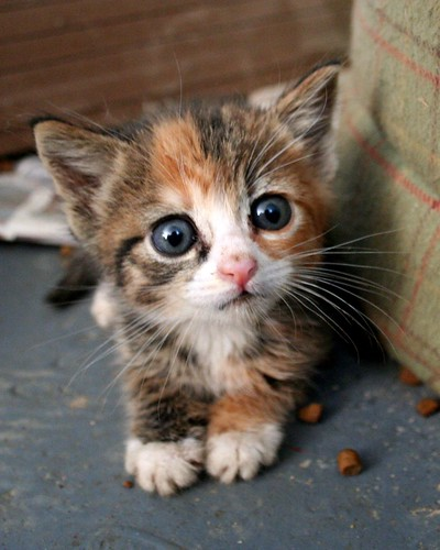 cute kitten big eyes cat pic