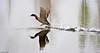 Reflection at takeoff - Réflection au décollage (Luc Deveault) Tags: wild canada bird animal duck pond eau quebec action reflet québec luc takeoff oiseau canard étang sauvage flyning deveault encvol lucdeveault