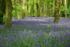 (Margaret Stranks) Tags: bluebells woods nuffieldplace