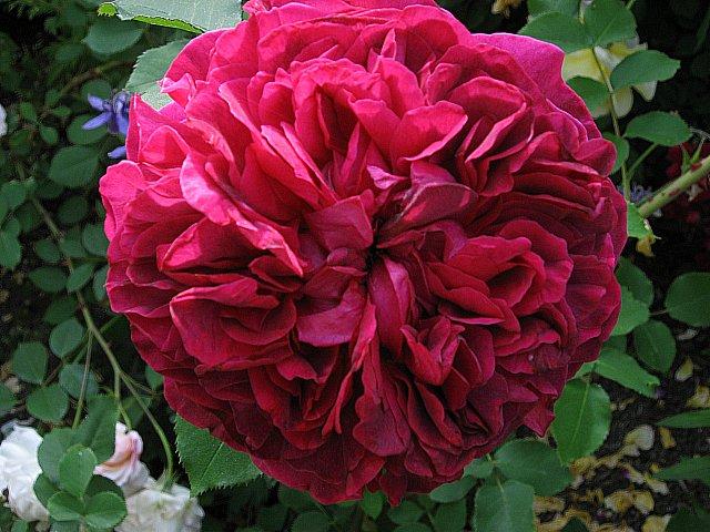 roses may 11 004
