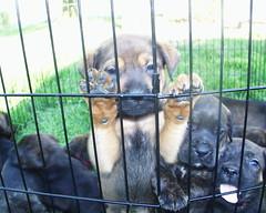 Brown/Tan Mastweiler (muslovedogs) Tags: dogs puppy mastweiler