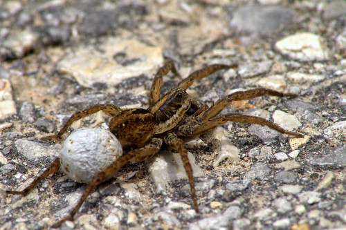 Buffalo Bayou - Wolf Spider/Egg Sac