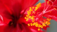 DSC00747.JPG (lsawatz) Tags: flower hybiscus